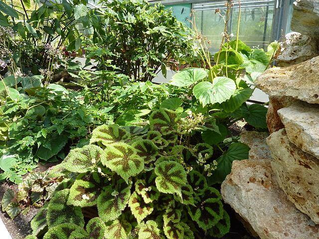 Размножение бегонии в домашних условиях: уход за комнатным растением, фото, а также особенности сорта Мэсона