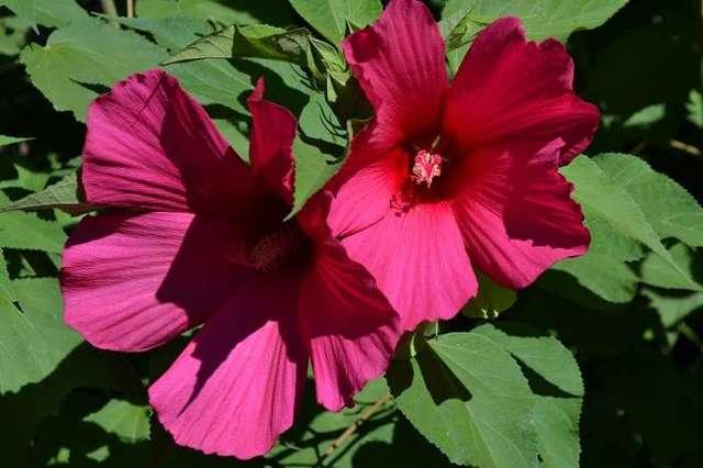 Гибискус садовый (уличный) и описание сортов: древовидный кустарник, травянистое многолетнее и тройчатое растение, а также уход и фото, как выглядят дерево с цветами