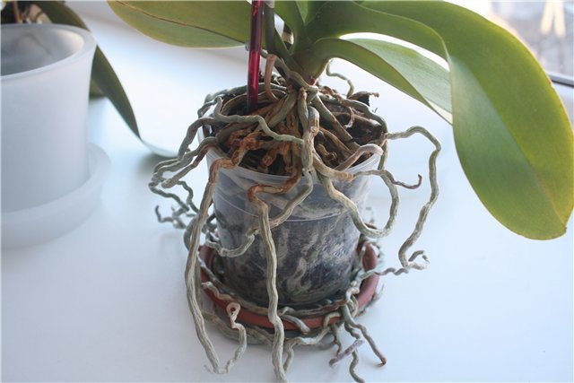 Обрезать корни у орхидеи: можно и надо ли это делать, например, с сухими воздушными, которые вылезли из горшка, а также, чем и как правильно обрабатывать после?
