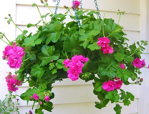 Герань в горшке: как ухаживать в домашних условиях, чтобы цвела, советы для начинающих, можно ли содержать на улице, как реанимировать, а также фото растения