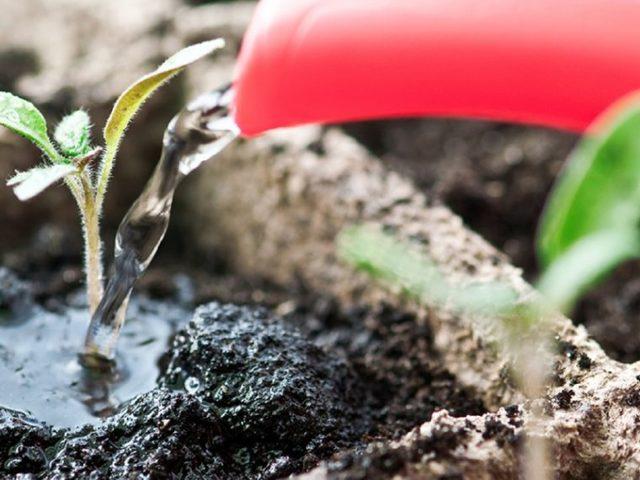Мучнистая роса на петунии: как бороться с этой болезнью, чем можно обработать растение, чтобы от нее избавиться, какие есть препараты, а также фото лечения