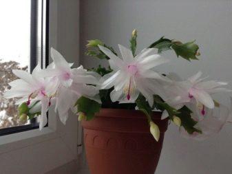 Виды цветка декабриста: названия сортов шлюмбергеры с их описанием и фото, например, Бакли, а также какого цвета бывает - красного, розового или оранжевого?