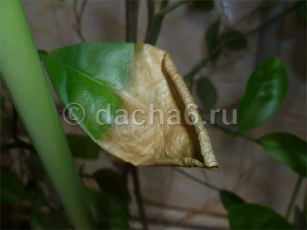 Листья лимона желтеют и сохнут с конца и по краям: почему кончики вянут, что делать для спасения растения?