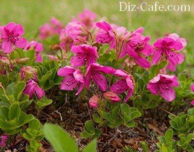 Азалия розовая: описание и фото сортов Микрантум, Огни, Элегантный и других, а также нюансы посадки рододендрона и ухода за цветком в тубе или горшке