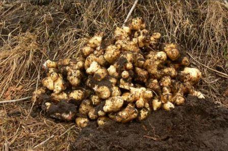 Корни топинамбура: что такое клубни земляной груши и ботаническое описание, фото, полезные и лечебные свойства, противопоказания