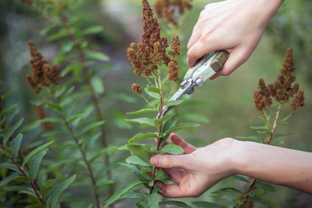 Как обрезать декабрист в домашних условиях, можно ли это делать и когда допустимо обламывать веточки после его цветения?