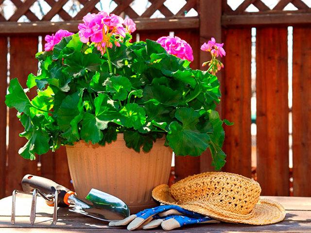 Герань садовая многолетняя посадка и уход в открытом грунте, а также один из ее видов - гималайская, фото цветов