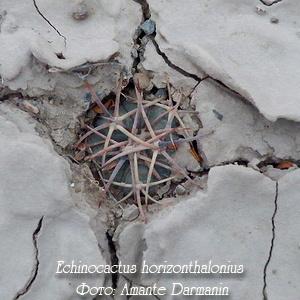 Виды Эхинокактуса (echinocactuc): Рейнбоу, Техасский (texensis), ingens и horizonthalonius и другие названия, их описание и фото, а также уход и составление миксов