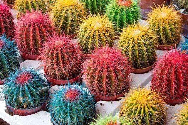 Красный кактус: названия видов растения с окрашенными иголками, плодами, цветами, головкой, верхушкой или шапкой, а также правильный уход и почему это важно