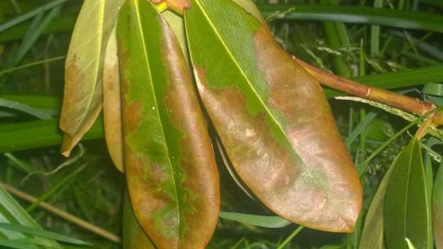 Болезни азалии и ее вредители: фото, рекомендации по лечению рододендрона в домашних условиях при белом налете на листьях, коричневых стеблях и других недугах