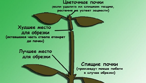 Гипоцирта голая: что это за комнатное растение, способы его размножения и необходимые условия для успешного выращивания