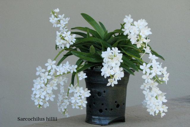 Как омолодить орхидею фаленопсис: сколько лет она живет в домашних условиях и от чего это зависит, а также пошаговая инструкция, как вернуть к жизни растение