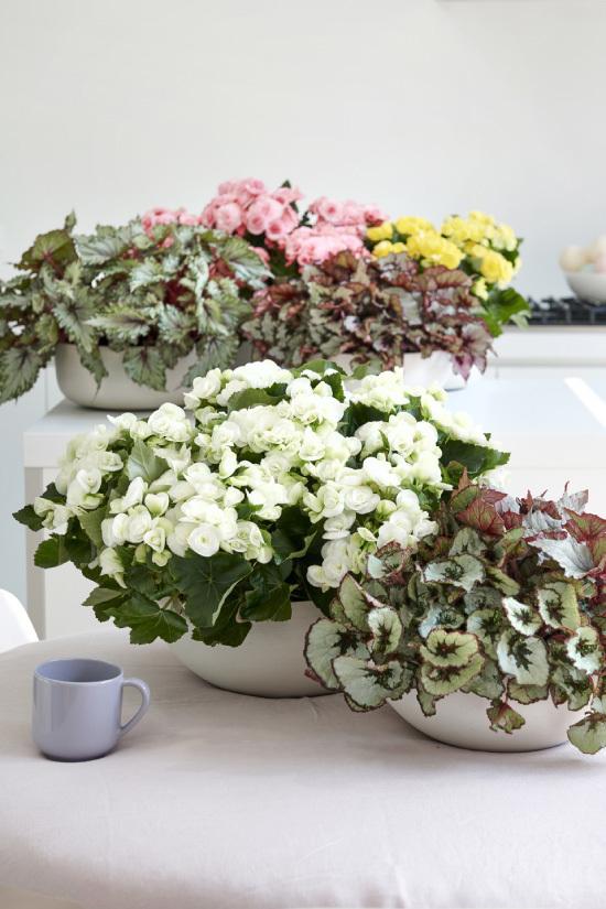 Комнатное растение бегония кленоволистная: внешний вид и уход, условия выращивания, а также болезни и вредители