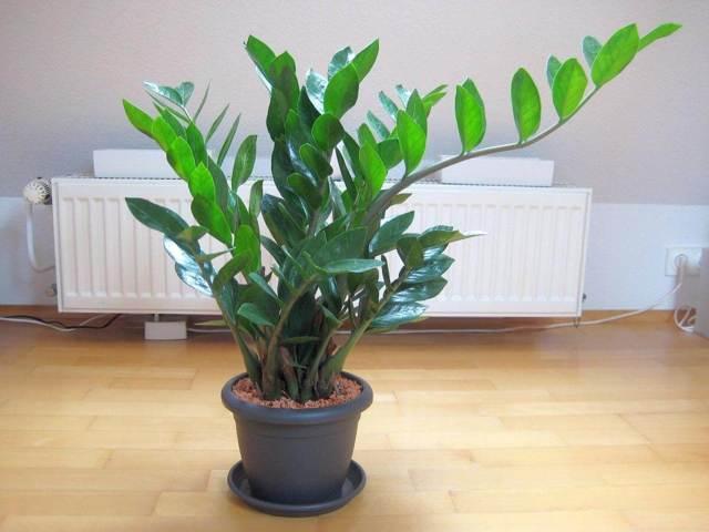 Агава в домашних условиях: уход, размножение разными способами, как вырастить цветок, а также почему у него желтеют листья?