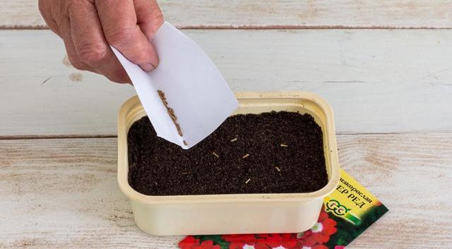 Вербена: выращивание из семян в домашних условиях, как выглядят на фото, что нужно, чтобы их собрать, каковы особенности размножения, в том числе черенками?