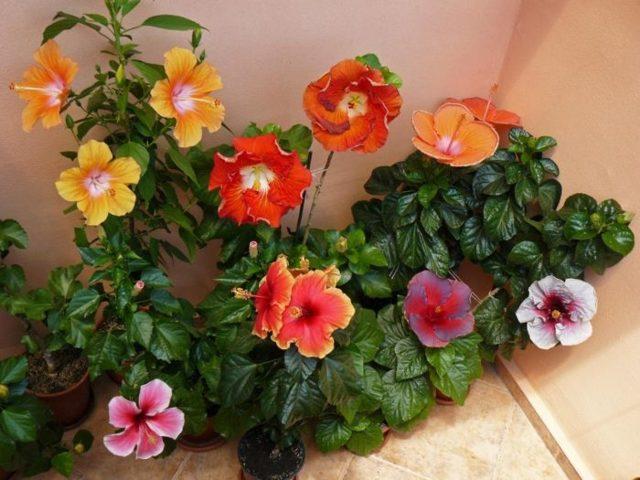 Желтеют листья у китайской комнатной розы: почему приобретают такой цвет и опадают, что делать, какой уход в домашних условиях нужен, чтобы не сбрасывали пластины?