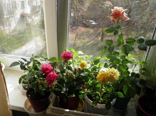 Мини-розы в горшочках: правильный уход в домашних условиях, а также описание миниатюрного или карликового комнатного цветка и история происхождения