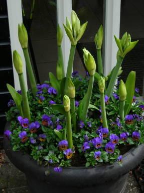 Амариллис и всё о нём: что это за комнатное растение, каковы цены на него, а также описание семейства и правил ухода за цветком в горшке, в том числе в период покоя