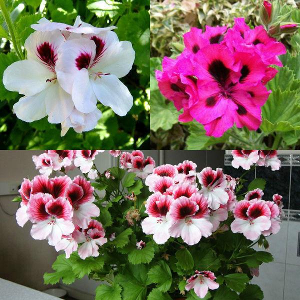 Королевская пеларгония: выращивание в домашних условиях, фото цветов с названием