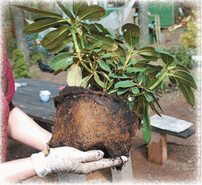 Азалия сбрасывает листья: почему осыпается зеленый куст и опадают бутоны рододендрона, можно ли спасти комнатный цветок и что делать для этого в домашних условиях?