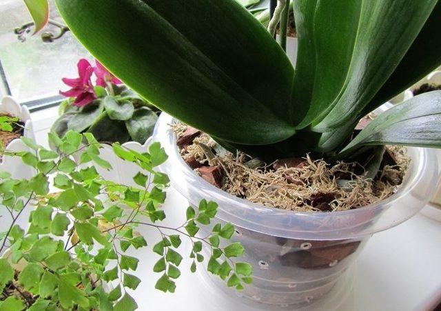 Орхидея мультифлора: что это такое, как выглядит цветок с таким названием на фото, а также описание ухода за ним в домашних условиях