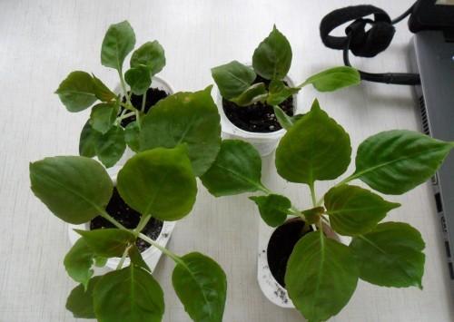 Дикорастущие растение бальзамин железистый: как за ним ухаживать, где лучше высаживать, какие могут быть болезни и проблемы при выращивании?