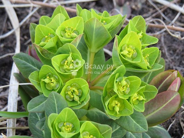 Как цветёт молочай: фото растения, а также описание видов и советы по уходу за ним в домашних условиях во время и после формирования бутонов