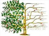 Глициния обильноцветущая: внешний вид лианы, описание сортов - Роял пурпл, Блэк дракон, Розеа, уход за Вистерией флорибунда (лат. wisteria floribunda)