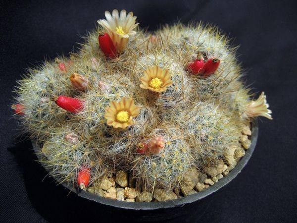 Как часто цветет кактус маммиллярия: когда распускается, почему бывает, что бутоны не появляются, можно или нет продлить этот период, также уход в домашних условиях