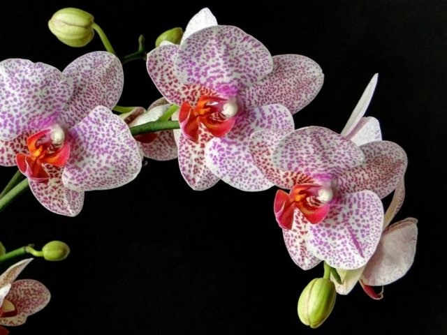 Цвет орхидеи: какой бывает, как выглядят на фото его разновидности, можно ли изменить натуральный оттенок в домашних условиях?