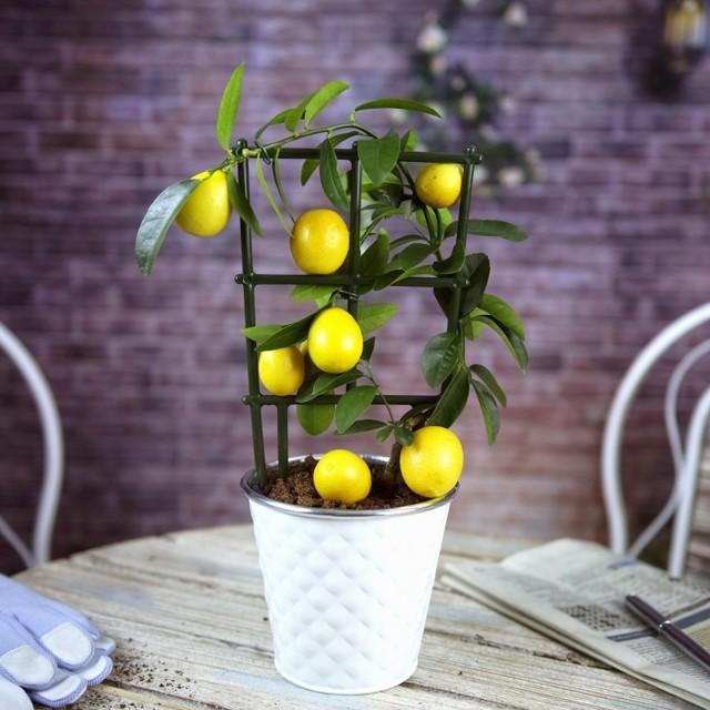 Уход за лимоном в домашних условиях в горшке и в открытом грунте, чтобы комнатное и уличное дерево плодоносило, как правильно прищипывать его, какой горшок нужен?
