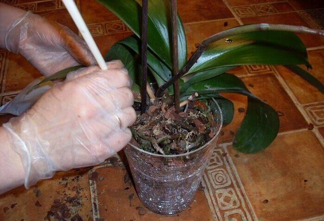 Строение орхидеи: на какие части можно разделить растение, а также подробная информация о типах ветвлений у цветка