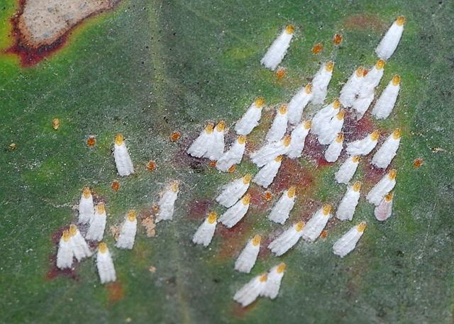 Щитовка: фото вредителя, а также что это такое и как выглядит, откуда берется на комнатных растениях, чем опасна для цветов и как с ней бороться в домашних условиях?