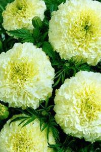Бархатцы низкорослые: сорта крупноцветковых растений с названиями, фото желтых, красно-коричневых, золотистых и других видов лепестков, советы по уходу