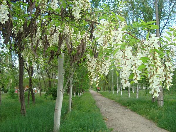 Белая акация: фото, описание  декоративного дерева (кустарника) и подсортов, лечебных свойств Робинии, а также способы размножения, посадка и уход