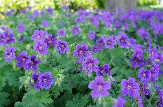 Герань комнатная: история названия, как выглядит и цветет это растение, а также описание и фото низкорослой, синей и лечебной пеларгонии