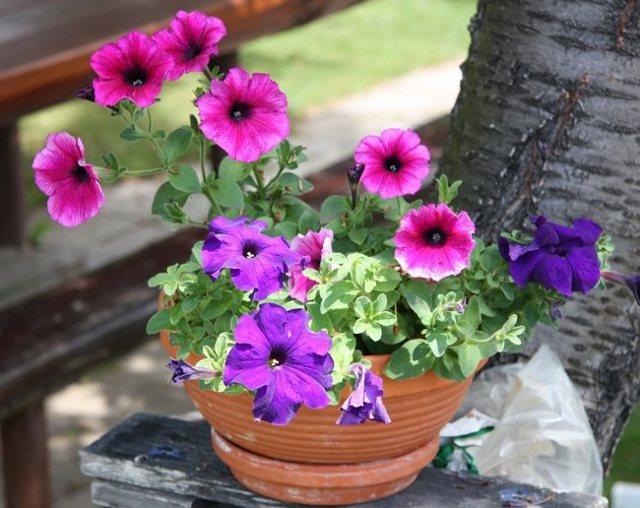 Как поливать петунию: как часто и правильно увлажнять растение в горшке и какие удобрения используются для обильного цветения?