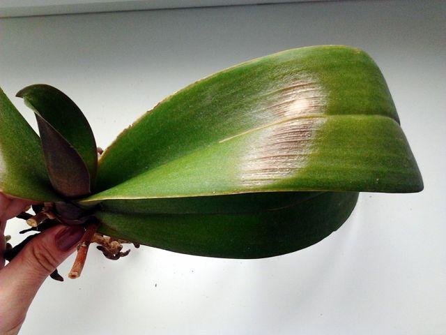 Болезни орхидей фаленопсис и их лечение: фото распространенных проблем, реанимация корней растения в домашних условиях и как спасти цветок?