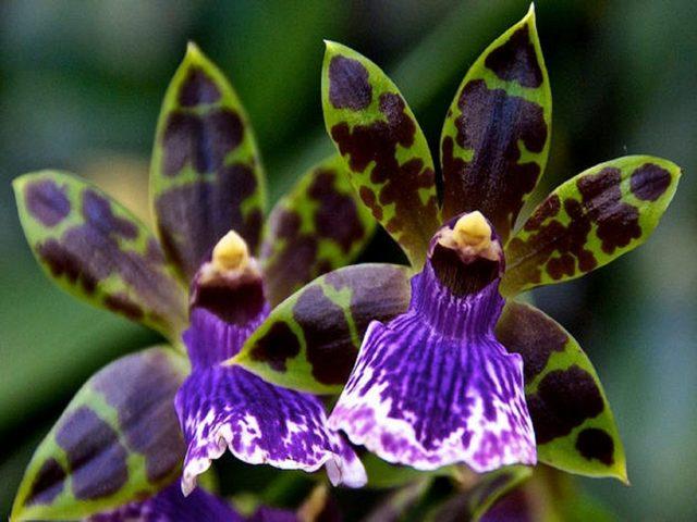 Орхидея Зигопеталум: описание внешнего вида и фото, правила ухода в домашних условиях, а также какие есть подсорта этого растения