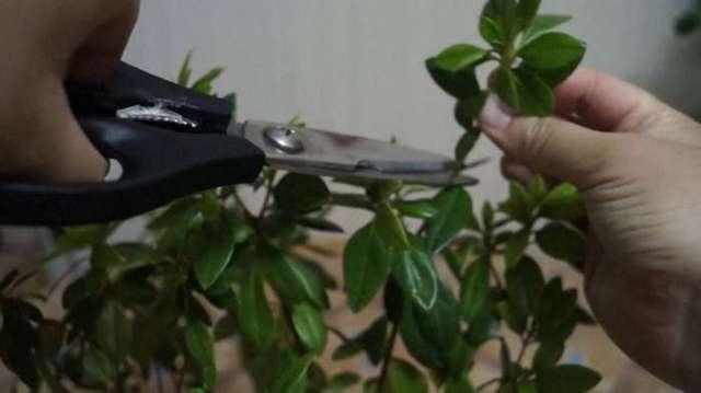 Как обрезать азалию: как и когда правильно делать это в домашних условиях, обязательно ли нужно после цветения, а также нюансы ухода и фото комнатного рододендрона