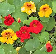 Места обитания тли:  на рассаде томатов, листьях растений -  капусты, подсолнечника, лимона, вишни, вьюнка полевого, помидора, сливы, калины, укропа, а также ее фото