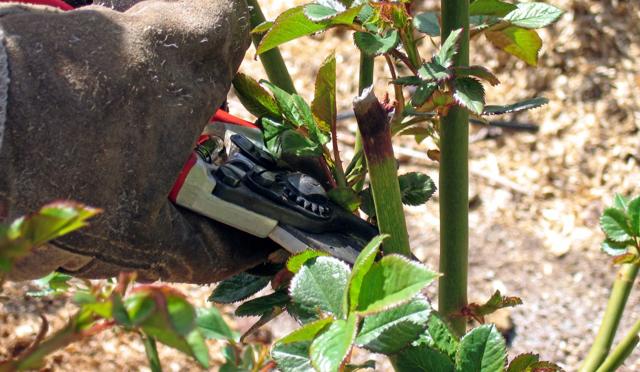 Чайно-гибридные розы: что это такое и отличаются ли от флорибунда, нюансы посадки и ухода, а также названия, описания и фото Гранд Шато, Дабл Делайт и других сортов