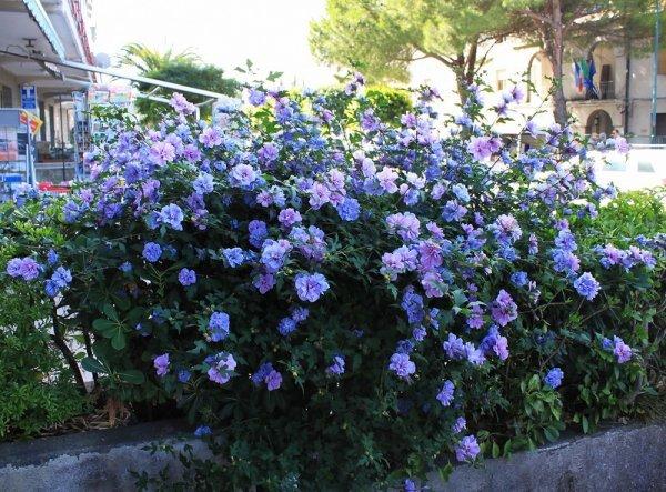 Гибискус сирийский: посадка и уход в открытом грунте, способы размножения и правила формирующей и санитарной обрезки весной, фото растения