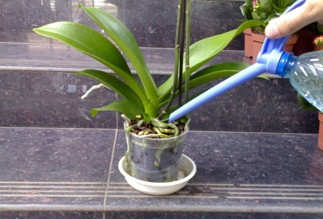 Пересадка орхидеи и полив после пересадки в другой горшок: нужно ли и если да, то когда именно делать в домашних условиях, можно ли использовать Корневин?