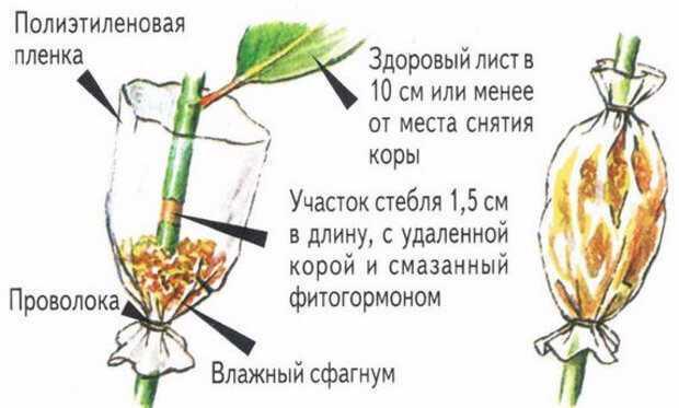 Бегония Грифон: фото цветка, правила выращивания растения в домашних условиях, метод размножения, что необходимо для ухода?