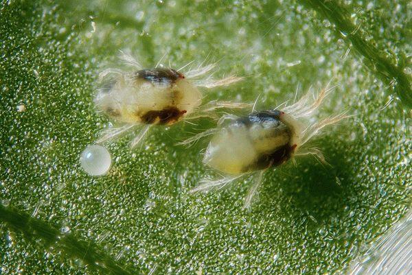 Бархатцы: болезни и вредители растения, почему они могут не цвести, что делать, если вянут или пропадают листья, меры борьбы и профилактики