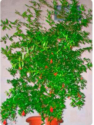 Гранат обыкновенный (punica granatum): описание и фото этого растение, уход за ним, в том числе, в комнатных условиях, размножение и болезни