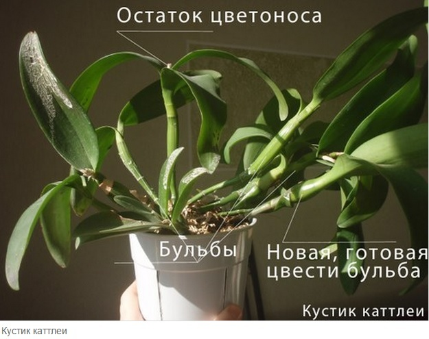 Как спасти орхидею картинка артрит