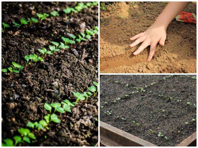 Редис Чемпион: описание и фото сорта, выращивание, болезни и вредители и хранение урожая