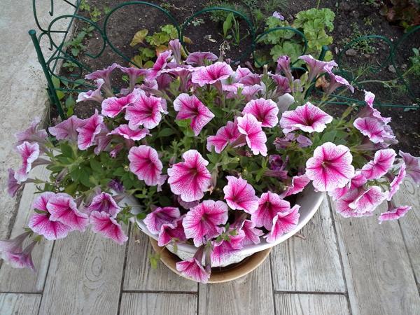Ампельная петуния: уход и выращивание из семян, вы узнаете и увидите на фото, как сажать и укоренить этот цветок, а также как реанимировать его в случае болезни